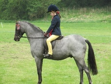 Showing horse - 14 yrs 11 mths 12.2 hh Blue Roan - West Midlands