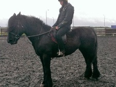 Cobs horse - 10 yrs 7 mths 15.2 hh Black - West Yorkshire