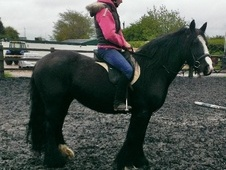 Cobs horse - 6 yrs 2 mths 15.0 hh Black - West Yorkshire