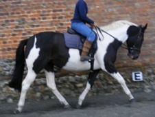 All Rounder horse - 6 yrs 2 mths 16.0 hh Piebald - Norfolk