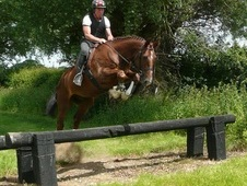 Reg Irish Draught Gelding, 16. 1hh 6 Years Old