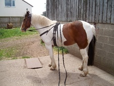Driving horse - 7 yrs 15.1 hh Skewbald - North Yorkshire