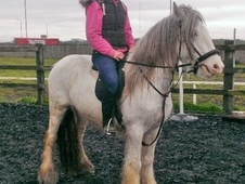 Cobs horse - 5 yrs 1 mth 14.1 hh Blue & White - West Yorkshire