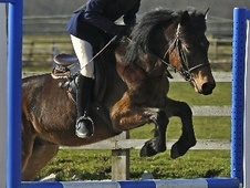 All Rounder horse - 8 yrs 13.1 hh Bay - Bedfordshire
