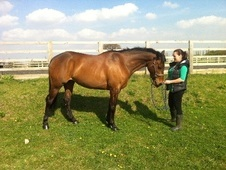 Showing horse - 9 yrs 15.2 hh Bay - North Yorkshire