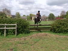 All Rounder horse - 12 yrs 16.0 hh Bay - Leicestershire