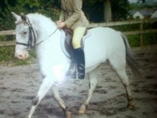 All Rounder horse - 5 yrs 12.2 hh Appaloosa - Cumbria