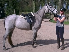 All Rounder horse - 7 yrs 14.0 hh Dapple Grey - Lancashire