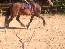 Welsh X Connamara Gelding