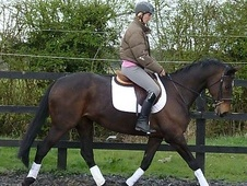 All Rounder horse - 10 yrs 1 mth 16.0 hh Bay - Suffolk