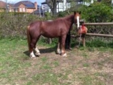 All Rounder horse - 4 yrs 4 mths 14.2 hh Strawberry Roan - West M...