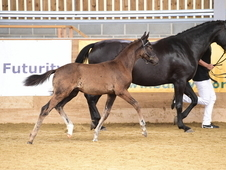 Smart Hanoverian Black colt