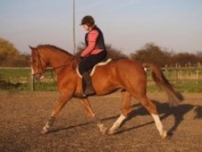 All Rounder horse - 5 yrs 1 mth 17.2 hh Chestnut - Essex