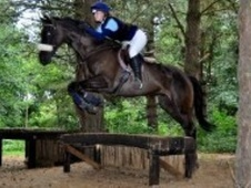 All Rounder horse - 7 yrs 1 mth 16.2 hh Dark Bay - Hertfordshire