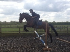 Ex Racehorses horse - 8 yrs 15.2 hh Bay - Cambridgeshire
