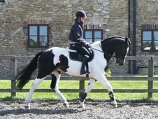 All Rounder horse - 6 yrs 2 mths 16.0 hh Coloured - West Yorkshire