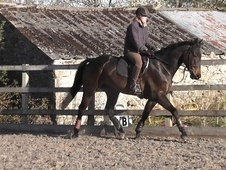 All Rounder horse - 5 yrs 11 mths 16.3 hh Dark Bay - Lancashire