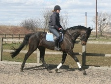 All Rounder horse - 5 yrs 4 mths 16.0 hh Bay - West Yorkshire