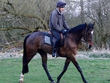 All Rounder horse - 4 yrs 8 mths 15.2 hh Bay - Cheshire