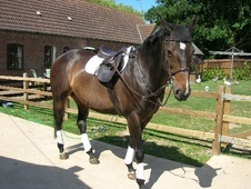 All Rounder horse - 17 yrs 6 mths 16.1 hh Dark Bay - Cambridgeshire