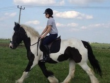 15. 2hh Traditional Coloured Cob
