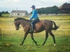 £500ono allrounder or broodmare