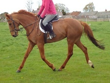 All Rounder horse - 4 yrs 15.0 hh Chestnut - Buckinghamshire