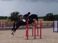 Show Jumpers horse - 8 yrs 1 mth 16.3 hh Black - Wiltshire