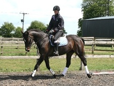 All Rounder horse - 14 yrs 15.3 hh Dark Bay - West Yorkshire