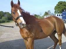 All Rounder horse - 13 yrs 4 mths 16.1 hh Chestnut - Essex