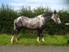 Smart Blue Roan And White Gelding, 14'3 Genuine All Rounder.
