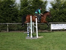 All Rounder horse - 18 yrs 15.2 hh Bay - Gloucestershire