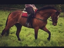 Flashy alrounder, 16. 2, bright bay, gelding! OFFERS EXCEPTED! !