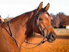 Beautiful Arabian Horse Available