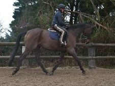 Sports Horses horse - 12 yrs 16.2 hh Bay - Sussex