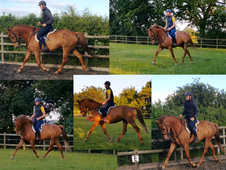 16. 1 Sports horse Mare - Allrounder