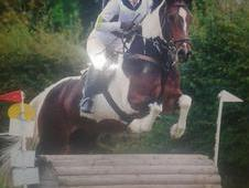 Super fun 15. 3hh Skewbald gelding For Sale