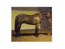 All Rounder horse - 5 yrs 16.0 hh Bay - Kent
