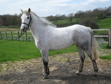 All Rounder horse - 4 yrs 14.1 hh Grey - Oxfordshire