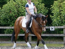 Kwpn 6yrs Bay Mare