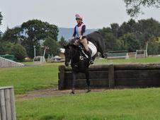 16. 3hh Dark Bay Irish sports horse