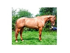 All Rounder horse - 10 yrs 16.2 hh Chestnut - Kent