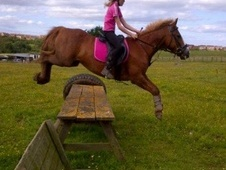 All Rounder horse - 14 yrs 4 mths 13.2 hh Chestnut - North Yorkshire