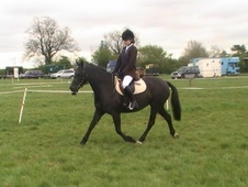 All Rounder horse - 5 yrs 13.2 hh Black - Leicestershire