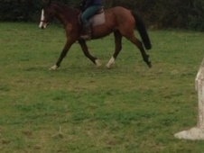 All Rounder horse - 12 yrs 14.0 hh Bay - West Midlands
