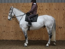 All Rounder horse - 10 yrs 16.1 hh Grey - County Durham