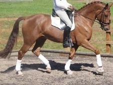 JAZZ 16. 3 Dressage/Jumping Oldenburg Gelding