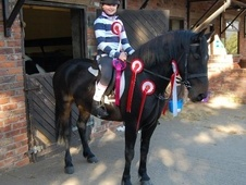 All Rounder horse - 7 yrs 1 mth 14.1 hh Dark Bay - Derbyshire