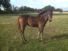 Stunning Pure Bred Appaloosa Filly