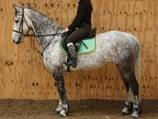 All Rounder horse - 8 yrs 15.2 hh Dapple Grey - County Durham
